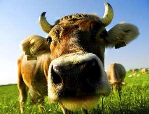 361652-6-nosy-cow-300