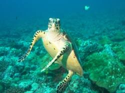 Sea Turtle250