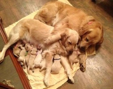 puppies and parents sleeping