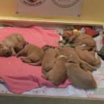 sleeping-golden-retriever-puppies-150x150