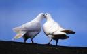white-doves-kiss
