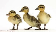 some different ducklings