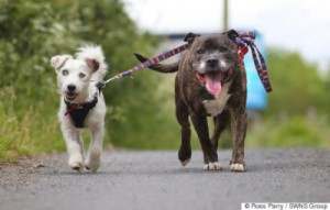 Buzz and Glenn, two abandoned dogs who were rescued from a sea tunnel in Hartlepool. Jack Russell Glenn cannot see and is guided by best friend Staffordshire Bull Terrier Buzz, who acts as his eyes. See Ross Parry copy RPYGUIDE : These two abandoned dogs need to be rehomed together - because one acts as the other's GUIDE DOG. The elderly blind Jack Russell and his helper, a Staffordshire Bull Terrier, were found abandoned in a sea tunnel in Hartlepool, Durham, about three weeks ago. Thankfully the unique pair were spotted and are now being cared for at rescue centre Stray Aid in Coxhoe, Co. Durham., where staff are now hoping to find the pals a new home. According to staff at the charity, the dogs - who are thought to be between nine and 10 - may have been abandoned due to their age. Glenn, the Jack Rusell, is completely blind so he is guided by Buzz, who acts as his eyes.