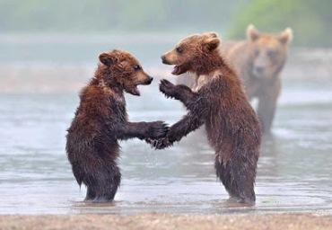 Bear cub handshake