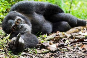 gorilla-rude-gesture