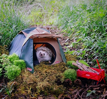 screencapture-laughingsquid-tiny-hedgehog-goes-camping-1516043031213