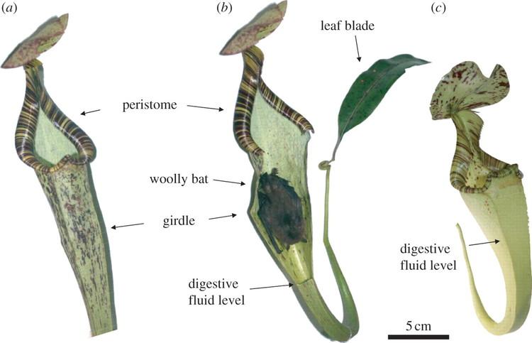 Image result for N. hemsleyana